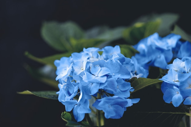 Niebieskie kwiaty hortensji na czarno