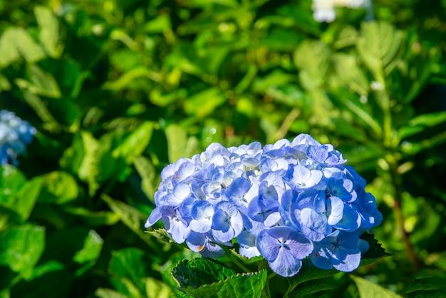 Niebieskie kwiaty hortensji