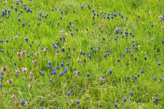 Niebieskie kwiaty hyacinthes na zielonej trawie
