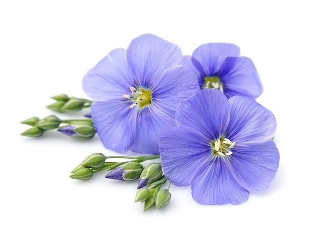 Niebieskie kwiaty lnu z bliska.