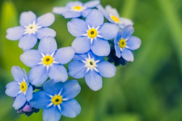Niebieskie kwiaty niezapominajka