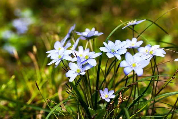 Niebieskie kwiaty pojawiające się na początku wiosny. rosną w drewnie