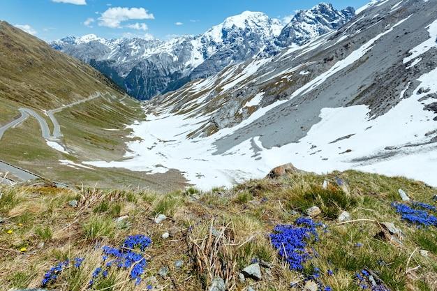 Niebieskie kwiaty przed i letnia przełęcz stelvio ze śniegiem na zboczu góry i serpentynach (włochy)
