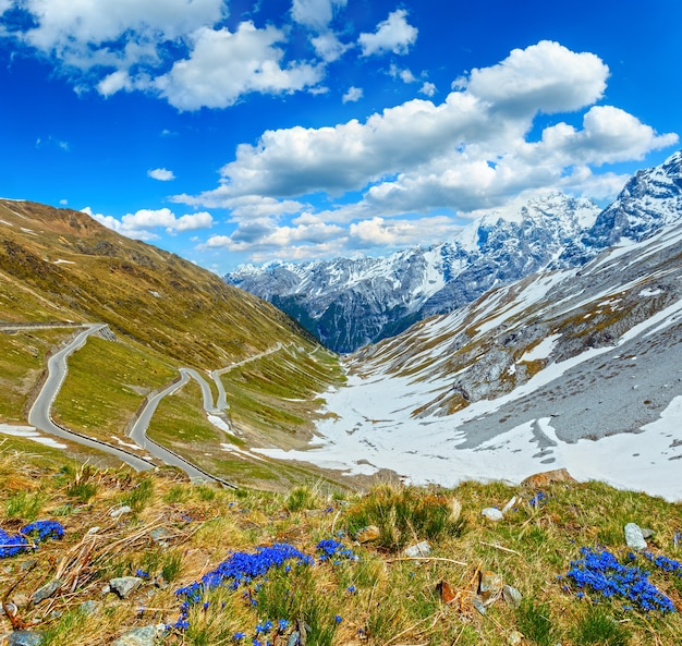 Niebieskie kwiaty przed i letnią przełęcz stelvio ze śniegiem na zboczu góry i serpentynami (włochy). dobra pogoda z niebieskim cumulusem pochmurnym niebem.