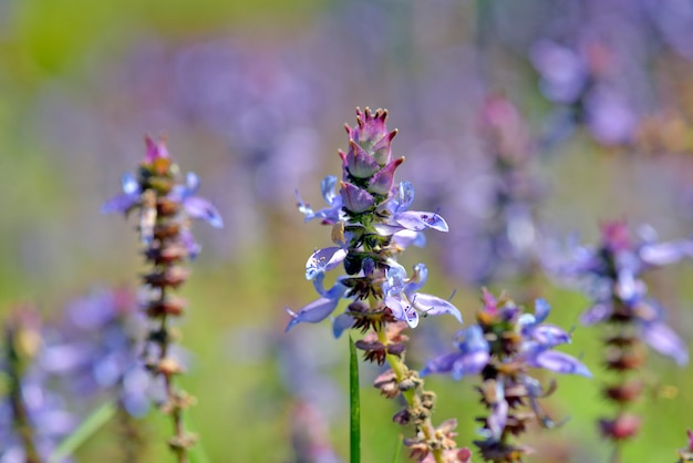 Niebieskie kwiaty zbliżenie