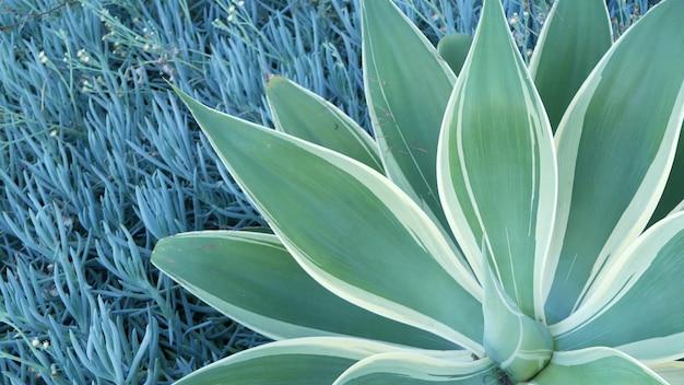 Niebieskie liście agawy, soczyste ogrodnictwo w kalifornii w usa. projekt ogrodu przydomowego, roślina jukki lub aloes. naturalne botaniczne ozdobne meksykańskie rośliny doniczkowe, pustynne kwiaciarstwo pustynne. spokojna atmosfera.
