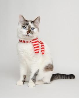 Niebieskie oczy kota w czerwonym szaliku w paski na białym tle