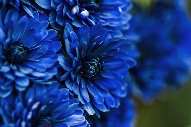 Niebieskie płatki dalia makro, kwiatowy streszczenie tło. bliska dalii flowes, chryzantemy na tle, nieostrość...