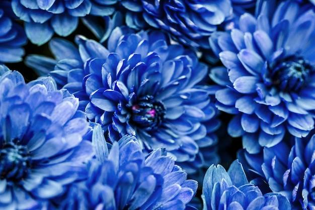Niebieskie płatki dalia makro, kwiatowy streszczenie tło. bliska flowes dalia, chryzantema na tle, nieostrość,