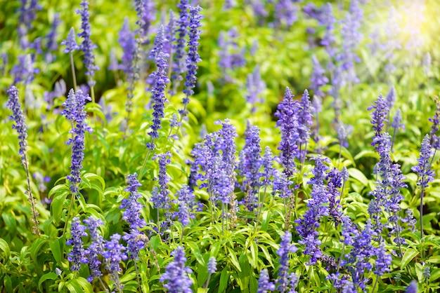 Niebieskie szałwia fioletowe kwiaty