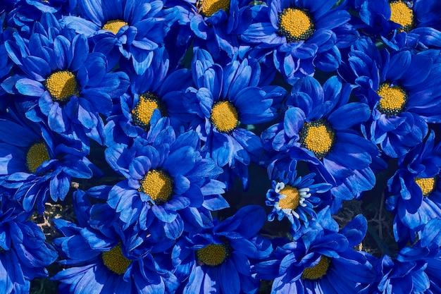 Niebieskie tło kwiaty. niebieska chryzantema. .