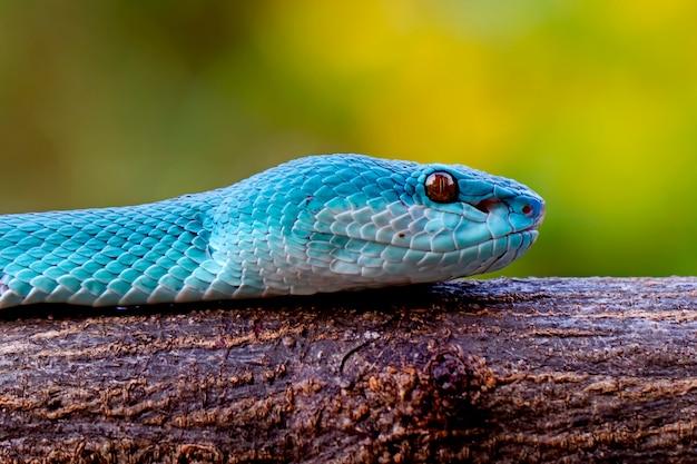Niebieskie węże insularis pit viper węże