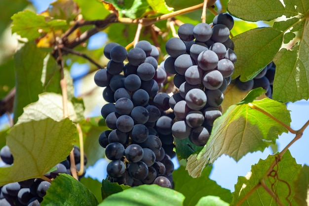 Niebieskie winogrona w ogrodzie, winnice zbiorów, owoce. kakheti.