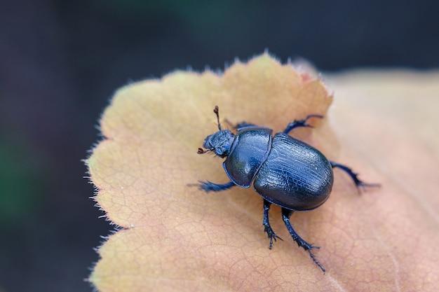 Niebiesko-czarny chrząszcz gnojowy siedzi na liściu rośliny ogrodowej.