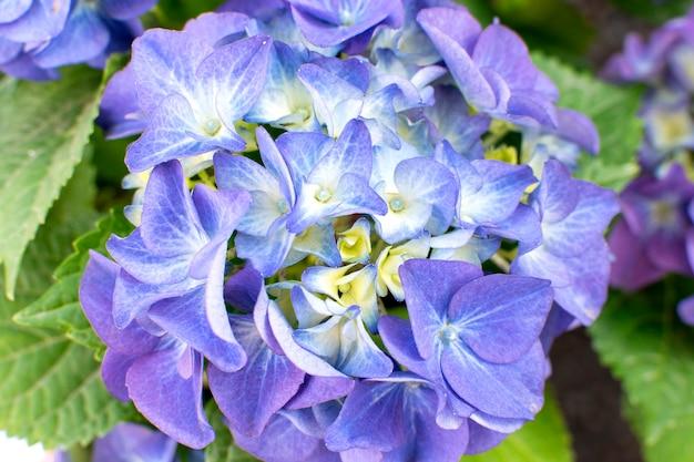 Niebiesko-fioletowa hortensja w ogrodzie w słoneczny letni dzień