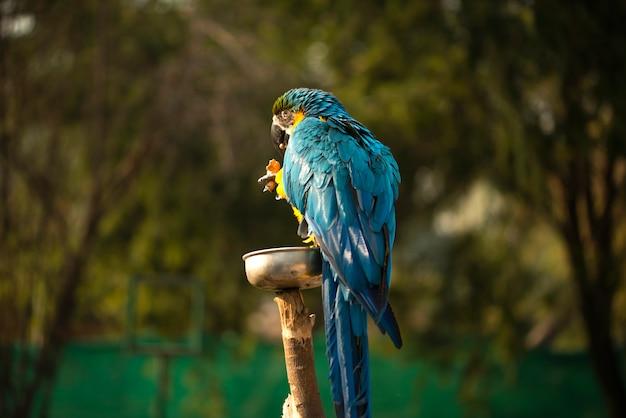 Niebiesko-żółta ara, niebiesko-złota ara jedząca orzechy w zoo, należy do dużej grupy neotropowych papug