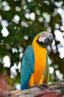 Niebiesko-żółte papugi
