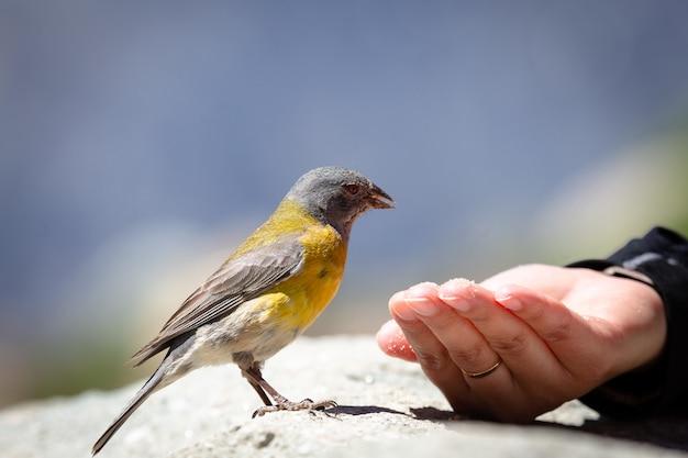 Niebiesko-żółty ptak tanager jedzący nasiona z czyjejś ręki