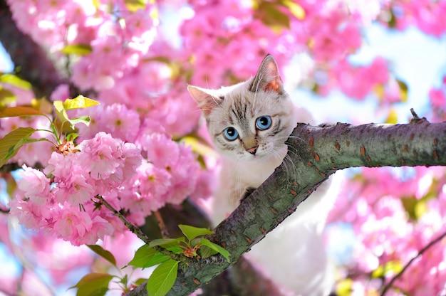 Niebieskooki kot siedzi na gałęzi drzewa sakura