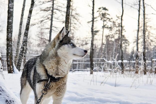 Niebieskooki pies husky na łańcuszku marzycielsko spogląda w dal w zimowym krajobrazie