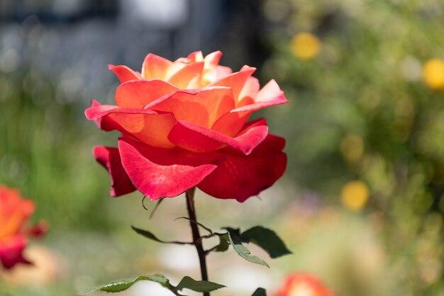 Niech piękno rozkwitnie. piękna róża naturalne tło. kwitnąca róża z czerwonymi płatkami. rodzaj róża. roślina kwitnąca.