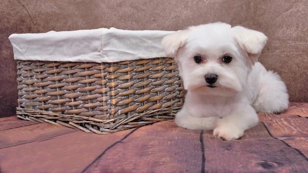 Niedaleko rattanu leży pies maltański. biały słodki szczeniak patrzy z oddaniem dużymi oczami.