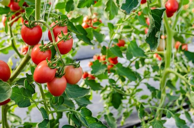 Niedojrzałe czerwone pomidory rosnące na winorośli