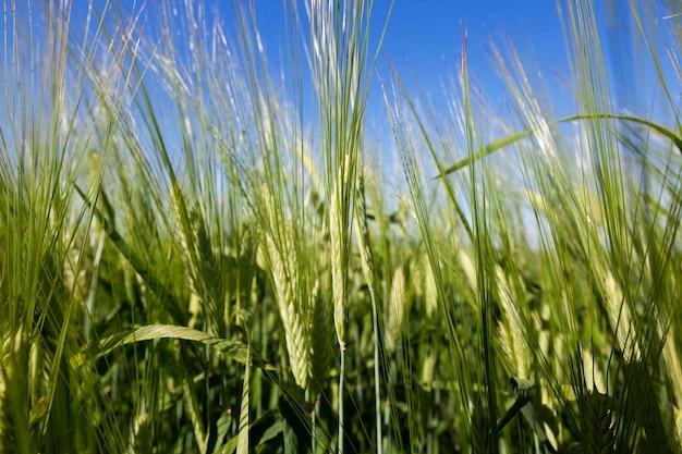 Niedojrzałe niebo trawy - sfotografowane zbliżenie niedojrzałej zielonej trawy rosnącej na polach uprawnych, rolnictwo