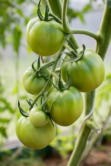 Niedojrzałe pomidory rosną w szklarni z bliska. koncepcja hodowli ekologicznie czystych warzyw.