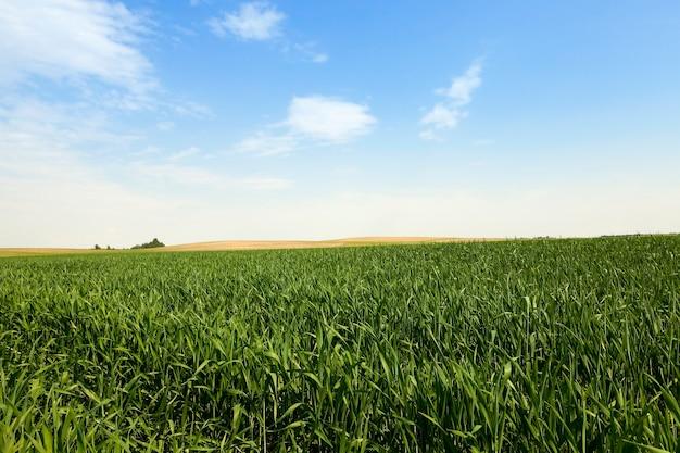 Niedojrzałe zbliżenie zielona trawa i błękitne niebo