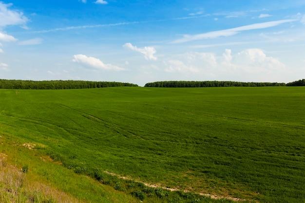 Niedojrzałe zboża - niedojrzała zielona trawa rosnąca na polach uprawnych