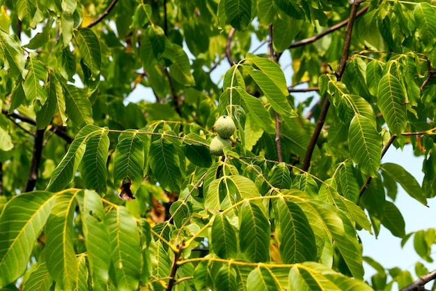 Niedojrzałe zielone orzechy włoskie - sfotografowany kurpnym się z zielonego niedojrzałego orzecha włoskiego wiszącego na drzewie
