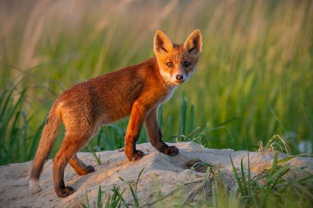 Niedojrzały czerwony lis stojący na jaskini w letnim nautre.