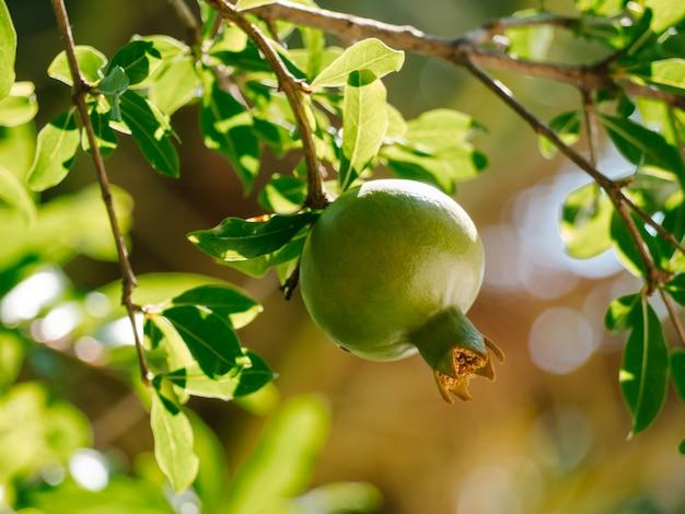 Niedojrzały dziki zielony granat na drzewie. selektywna ostrość. uprawa owoców granatu w ogrodzie. punica granatum.