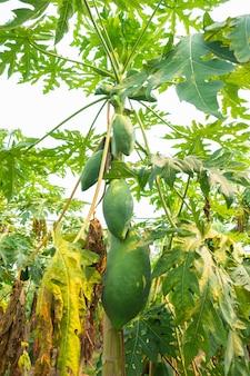 Niedojrzały owoc papai ma zielony kolor na drzewie.