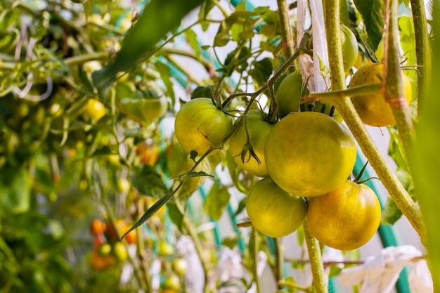 Niedojrzały pomidor na gałąź