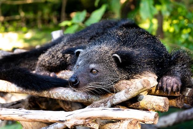 Niedźwiadkowy kot odpoczywa w południe