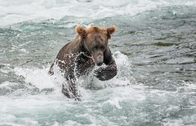 Niedźwiedź brunatny biegnie w wodzie w rzece