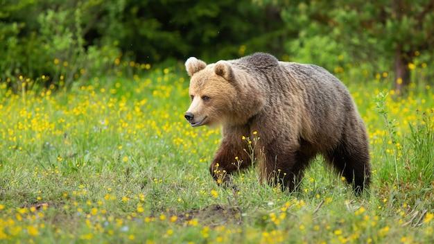 Niedźwiedź brunatny chodzenie na kwitnącej łące w przyrodzie latem