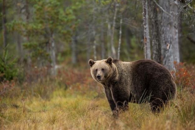 Niedźwiedź brunatny do lasu