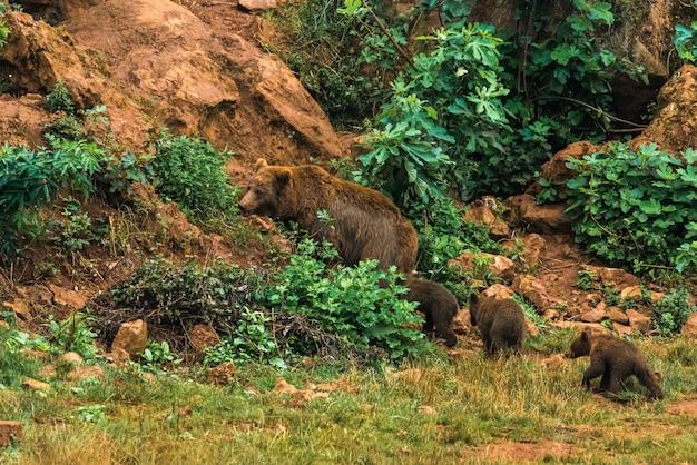 Niedźwiedź brunatny i ich szczenięta w rezerwacie przyrody