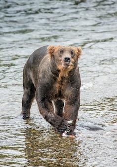 Niedźwiedź brunatny je łososia w rzece
