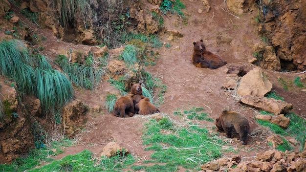 Niedźwiedź brunatny karmi niedźwiadki w parku przyrody cabarceno, kantabria, hiszpania