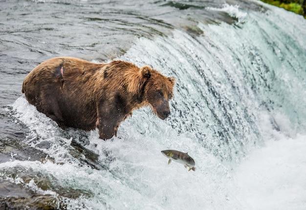 Niedźwiedź brunatny łapie łososia w rzece