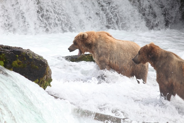 Niedźwiedź brunatny łowiący ryby w rzece na alasce
