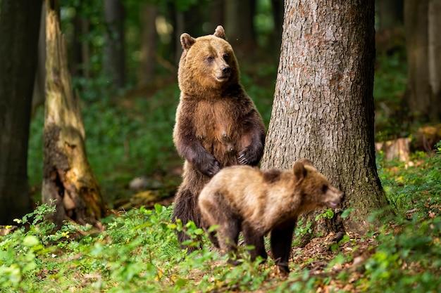 Niedźwiedź brunatny matka stoi na tylnych nogach i chroni swojego szczeniaka