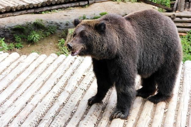 Niedźwiedź brunatny na drewnianym pokładzie w zoo