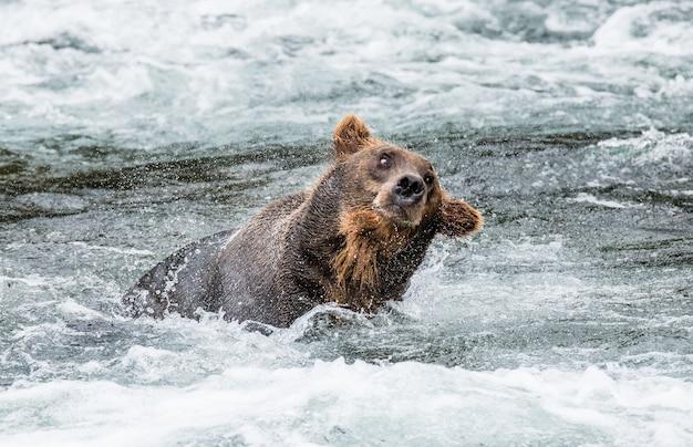 Niedźwiedź brunatny otrząsa się z wody otoczonej rozpryskami