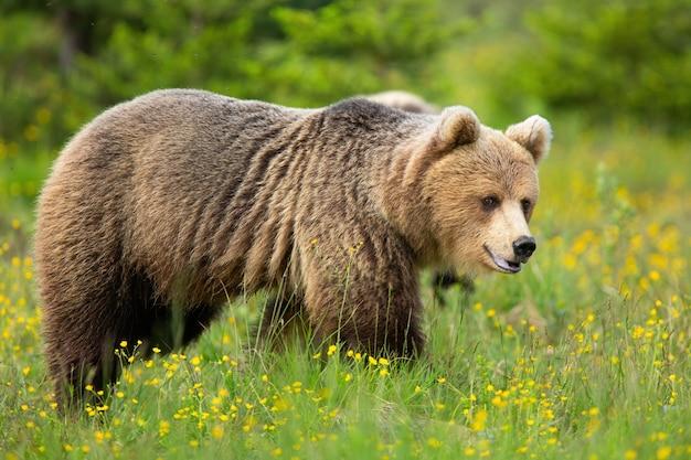 Niedźwiedź brunatny, patrząc na łące kwiatów w przyrodzie latem