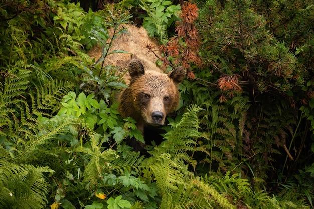 Niedźwiedź brunatny pochodzący z gęstego lasu w lecie